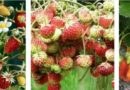 Посадка (посев) клубники – как правильно посадить клубнику в открытый грунт